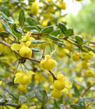 Berberis julianae, långbladig berberis