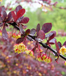 Häckberberis 'Red Chief'