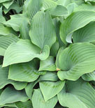 Hosta 'Krossa Regal', funkia