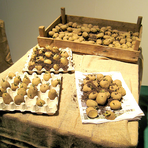 när sätter man potatis