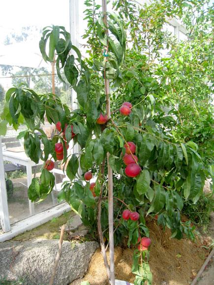 plantera nektarin