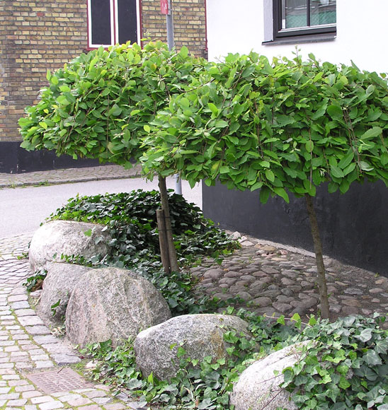låga träd till trädgården