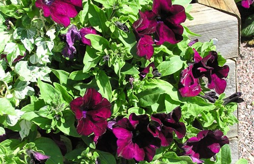 Petunia 'Surfinia Red'