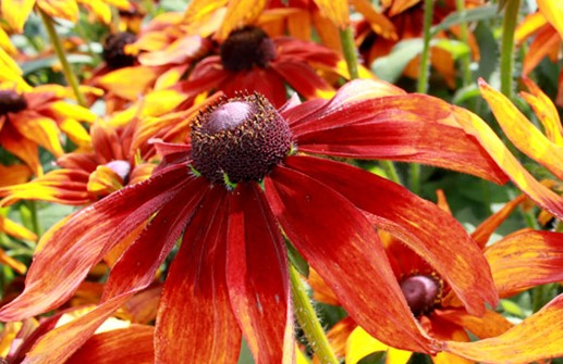 Sommarrudbeckia 'Autumn Colors'
