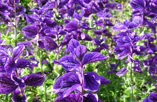 Broksalvia 'Blue Monday'