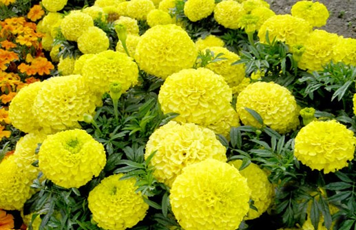 Stor tagetes 'Antigua Yellow'