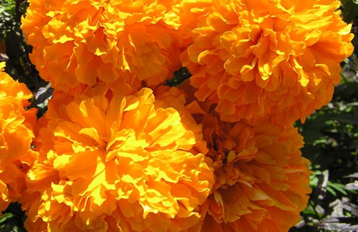 Stor tagetes 'Jubilee Orange'