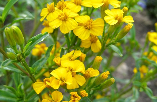 Glans tagetes 'Sweet Mace', blomma