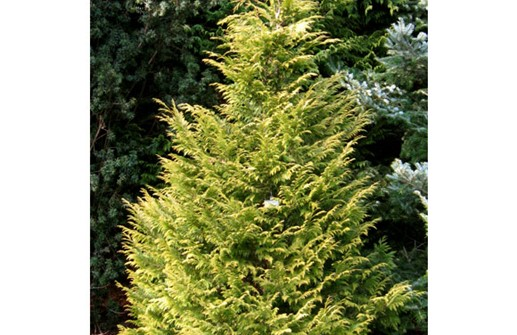 Ädelcypress 'Golden Wonder'