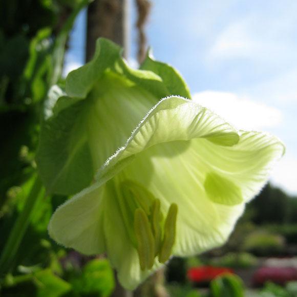 Klockranka 'Cathedral Bells', blomma