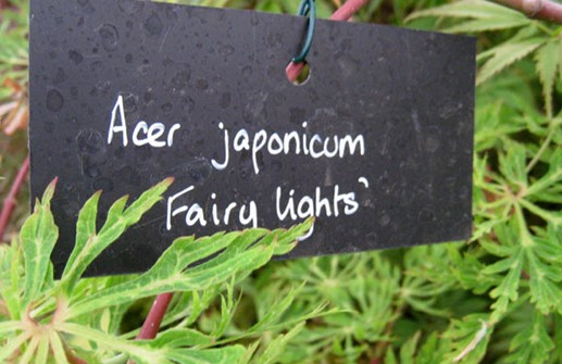 Solfjäderslönn 'Fairy Lights', blad
