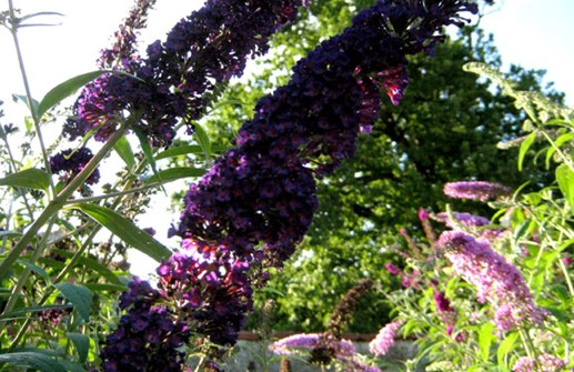 Syrenbuddleja 'Black Knight'