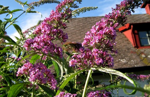 Syrenbuddleja 'Fascinating'