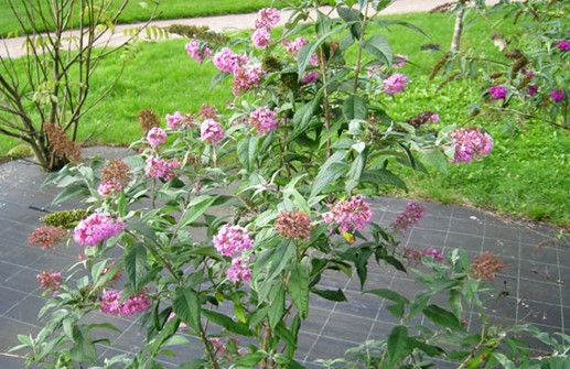 Syrenbuddleja 'Pink Delight'