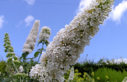 Syrenbuddleja 'White Bouquet', blomma