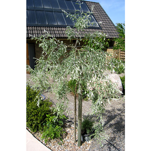 silverpäron