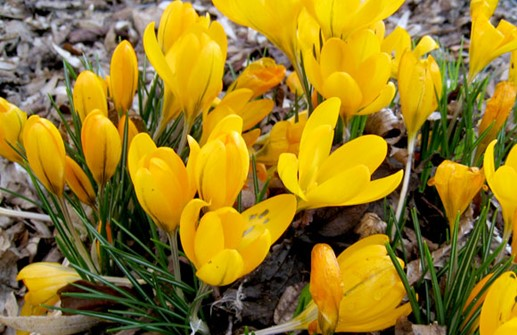 Gullkrokus 'Golden Yellow'