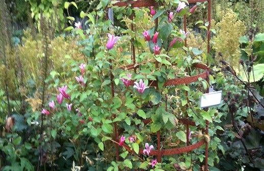 Clematis Texensis-Gruppen 'Duchess of Albany'