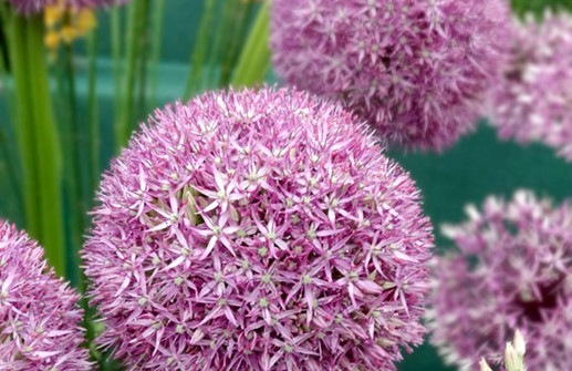 Allium 'Pin Ball Wizard', blomma