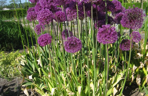 Allium x hollandicum, purpurlök 'Purple Sensation'