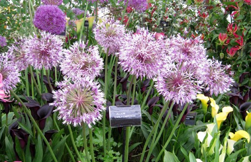 Allium jesdianum 'Early Emperor', bukettlök