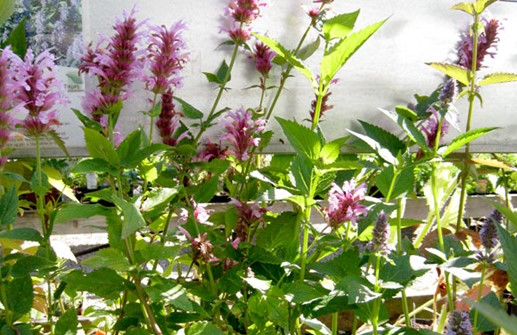 Agastache 'Cotton Candy'