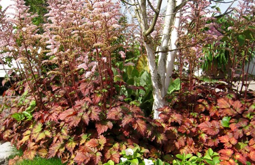 Astilbe 'Color Flash' i plantering